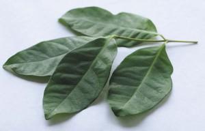 khasiat-dan-manfaat-kandungan-daun-salam-bagi-kesehatan1